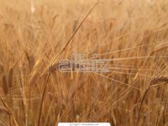 Производство на зърнени култури