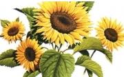 Слънчоглед, суров, семки