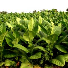 Тютюн едролистен тип Вержиния / Tobacco Type Virginia on leaves