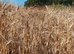 Брашно от твърда пшеница, пшеница