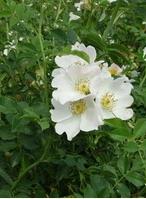 Обикновената шипка (Rosa canina)