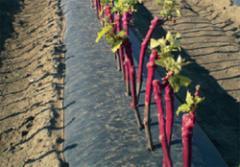 Grape saplings of wine varieties