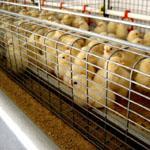 Клетъчно оборудване за птицеферми