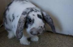Пълноценен комбиниран фураж за зайци - Угояване