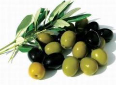 Маслини гръцки