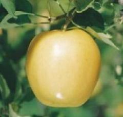 Ябълка Златна резистентна