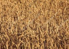 Grain mixture
