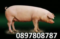 Свине майки