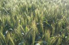 Пшеница Енола