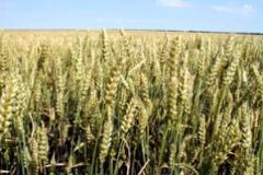 Пшеница Милена
