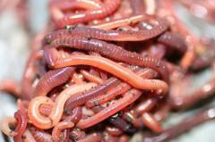 California red worms