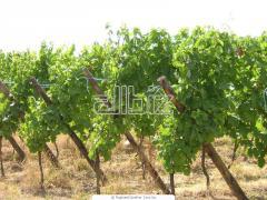Зеленчукопроизводство и Винарство