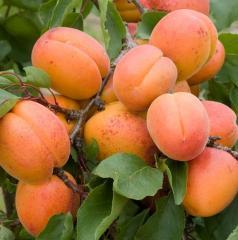 Плодове, кайсии сортове