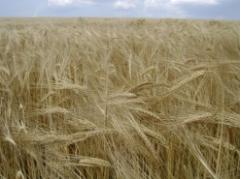 Семена на пшеница