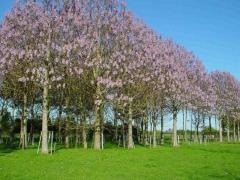 Фиданки от дървета Пауловния