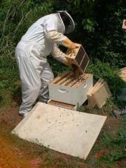 Пчелни семейства и отводки