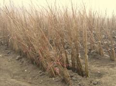 Две и три годишен лешников разсад
