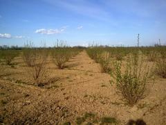 Четири годишна лешникова градина