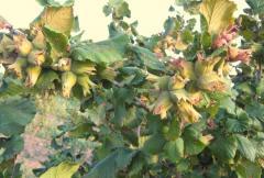 Лешниково дърво