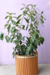 Лавровишня (Prunus Laurocerasus) novita