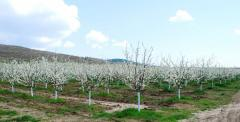 500 acres cherries - young plants of selected
