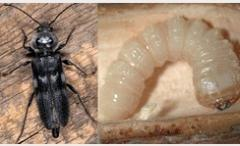 Antiseptics against wood-borer insect