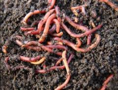 Биотор от червени калифорнийски червеи