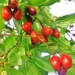 Seedlings of cornel tree
