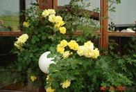 Виещи (каскадни) Рози