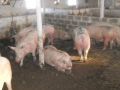 Свине за месо