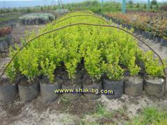 Шарен-Лигуструм (Ligustrum Ovalifolium Aureum)