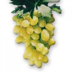 Vine saplings of early grades