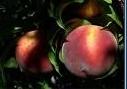 Праскова, пресен плод