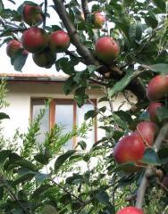 Пресни ябълки