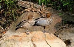 Гривести гъски
