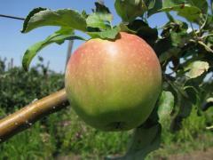 Ябълки, българско производство 70ст/кг.