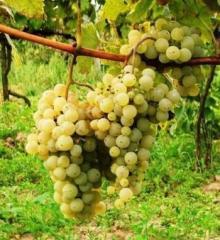 Продаем болгарское вино.