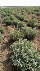Етерично масло Градински чай /Салвия/ - Salvia
