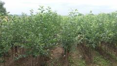 Apple seedlings Serbia