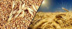 Ечемик-Barley