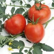 Семена от домати РУЕН F1 (Tm, V, F)