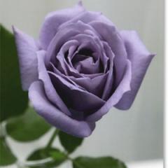 Роза Blue Sky
