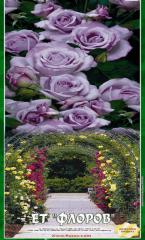 Роза катереща