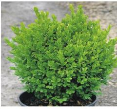 Вечнозелени храсти Чимшир