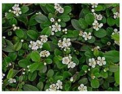 Вечнозелени храсти Котонеастър
