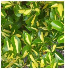 Вечнозелени храсти Фортунов чашкодрян