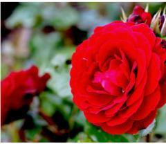 Роза флорибунда тъмно алена