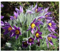 Семена цветя многогодишни