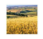 Пшеница Ренан