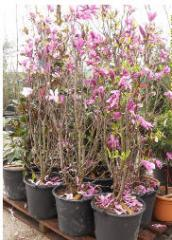 Магнолия Grandiflora
